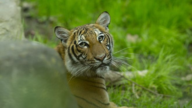 First tiger confirmed of corona positive in US